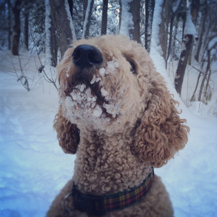 Dunlop, aka Snowbeard the poodle, after a long walk in our winter wonderland.