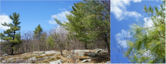 luskville pines
